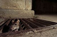 Chicago Rats Cover image.jpg